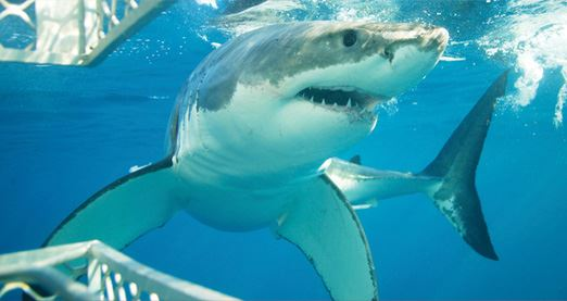Great White Shark Diving Experience – Port Lincoln