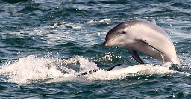 A Sightseeing Cruise with Bottlenose Dolphins (Adult) - Sorrento