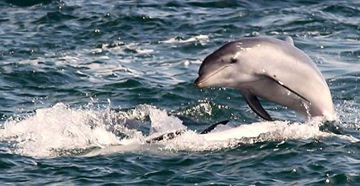 Picture of A Sightseeing Cruise with Bottlenose Dolphins (Adult) - Sorrento