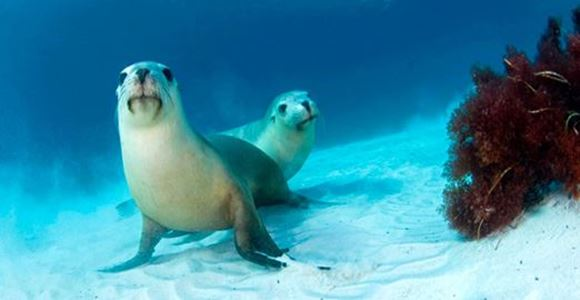 Picture of Swim with the Sea Lions Port Lincoln - Adelaide