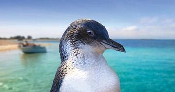 Picture of Penguin Island & Dolphin Watch Adventure Cruise (Adult)
